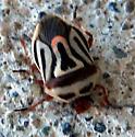 Beetle - Perillus bioculatus