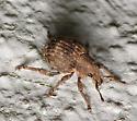 Pseudocneorhinus bifasciatus? - Pseudocneorhinus bifasciatus
