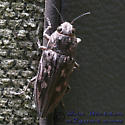 Sculptured Pine Borer - Chalcophora virginiensis