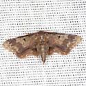 Notch-winged Wave Moth - Hodges #7108 - Idaea furciferata - male