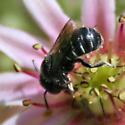 Small black bee - Hoplitis