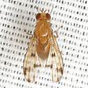 Lauxaniid Fly - Homoneura