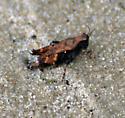 Bronze-Colored Grasshopper/Cricket - Tettigidea