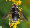 Diptera. Syrphidae. Spilomya. - Spilomyia fusca