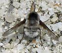 Bombylius incanus