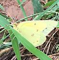 Clouded Sulpher? - Colias eurytheme