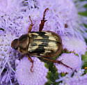 beetle - Exomala orientalis