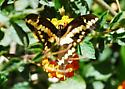 Giant Swallowtail for California in April - Papilio rumiko