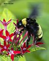 American Bumble Bee - Bombus pensylvanicus - Bombus pensylvanicus