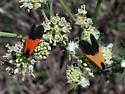 Little red and black moth - Lycomorpha pholus