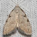 Three-spotted Nola Moth - Hodges#8992 - Nola triquetrana