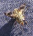 Deer Fly - Chrysops coloradensis - female