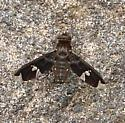 Bee Fly - Exoprosopa decora