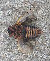 Striped periodical cicada - Magicicada septendecim