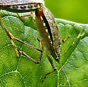 Two stink bugs - Halyomorpha halys - male - female