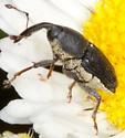 Flower Weevil - Odontocorynus umbellae