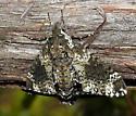 moth - Dolba hyloeus