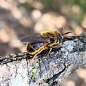 Golden Pine Fly? - Callicera erratica