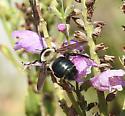Xylocopa virginica texana - Xylocopa virginica
