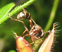 Sphecid - Physocephala furcillata