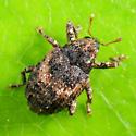 weevil - Eubulus obliquefasciatus - female