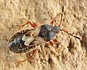 Chinch Bug - Blissus leucopterus - female