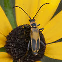 Soldier Beetle-Goldenrod-(maybe)-(Chauliognathus pennsylvanicus)- - Chauliognathus pensylvanicus