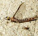 Larger Mayfly - Hexagenia