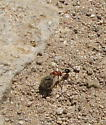 Ant hauling honeybee thorax - Pogonomyrmex californicus - female