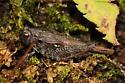Grouse Locust - Tettigidea lateralis - female