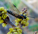 long wasp, abdomen with thin yellow bands - Strongylogaster