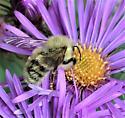Bumble Bee: Bombus fervidus (Golden Northern)? B. perplexus (Confusing)? B. borealis (Northern Amber)? - Bombus
