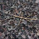 Walkingstick (Phasmida) - Pseudosermyle stramineus - female