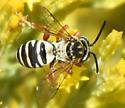 Tiny Sand Wasp? - Triepeolus