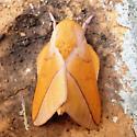 Bisected Honey Locust Moth - Sphingicampa bisecta