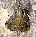 Orgyia leucostigma - White-marked Tussock Moth - Orgyia leucostigma - male