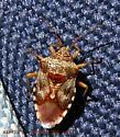 Elasmucha lateralis (Say) birch stink bug  - Elasmucha lateralis