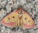 Pink Star Moth - Derrima stellata