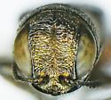 Agrilus catalinae Knull - Agrilus catalinae - male