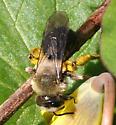 Bee ID Request - Andrena carlini - female