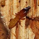 Zootermopsis augusticollis - Zootermopsis