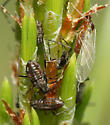 Aphids on Pine (probably Lodgepole) - Cinara