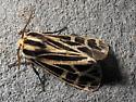 Parthenice Tiger Moth (Grammia parthenice) - Apantesis virgo