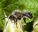 Megachilidae - Megachile gemula