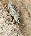 weevil #2 - Cyrtepistomus castaneus
