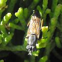fly - Ozodiceromyia nigrimana - female