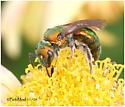 Sweat Bee-Tribe Augochlorini - Augochlora pura - female