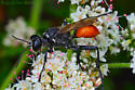 Western Hunting Wasp? - Prionyx
