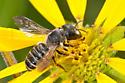 Megachile   - Megachile pugnata - female