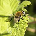 fly - Merodon equestris - female
